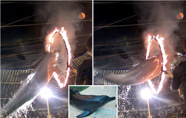 Dolphins being Forced to Jump Burning Hoops as Part of Cruel Travelling Circus in Indonesia