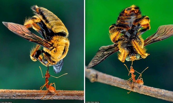 Luar Biasa! Semut Angkat Bangkai Lebah, Bobotnya 40 Kali Lipat Beratnya