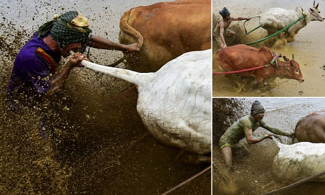 Farmers Bite Their Cows to Make Them Go Faster as They Compete in Traditional Indonesian Race