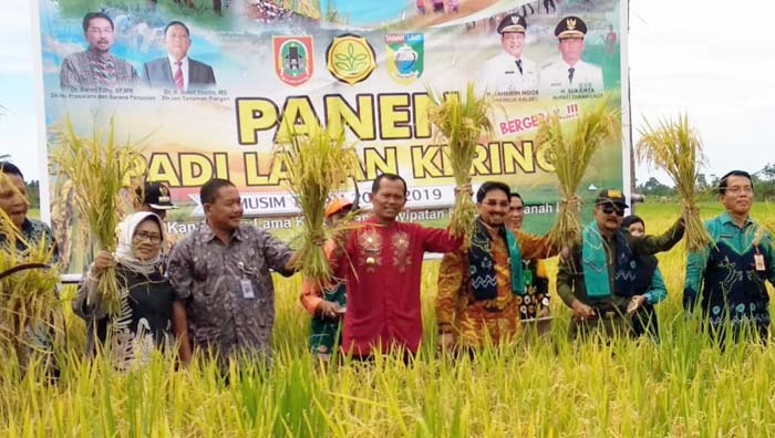 Indonesia`s Tanah Laut District the First Harvest of Upland Rice