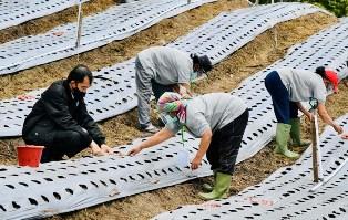 Jokowi Tanam Bawang Tandai Pencanangan Food Estate Sumut
