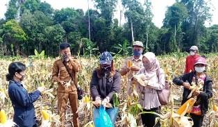 Hitung Ubinan Jagung, Penyuluh Kalteng Kawal Petani Bartim